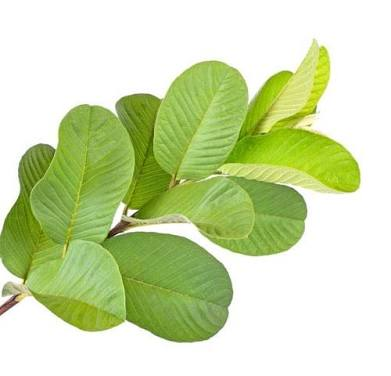 SM HEALTH: Medical benefits of guava leaves